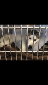 Hollywood Husky #104 – Alto