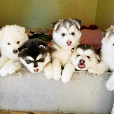 Husky Puppies up for Adoption!