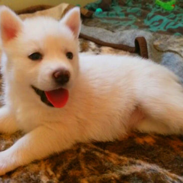 Hollywood Husky #80 – Puppy Melody/Izzy – Adopted