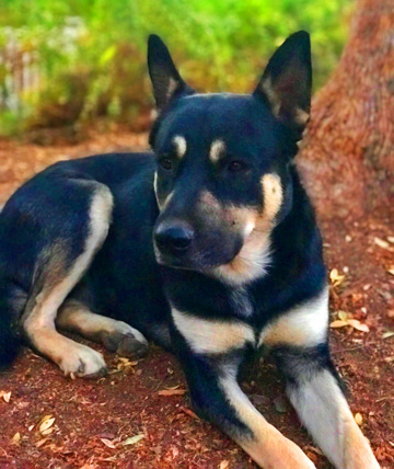 Hollywood Huskies #83 – Rocky – Adopted