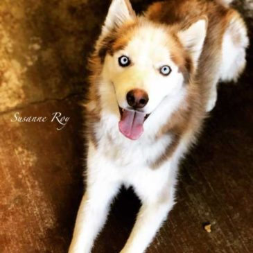 Hollywood Husky #263 – ROCKY