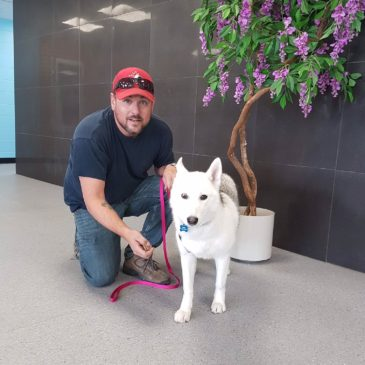 Hollywood Husky #156 (CAD 3) – Willow 2 ADOPTED