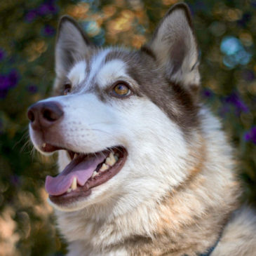 Hollywood Husky #23 – Shiloh
