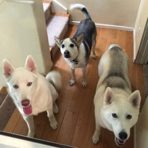 Heather's dog pack: Halo, Shasta, Marina