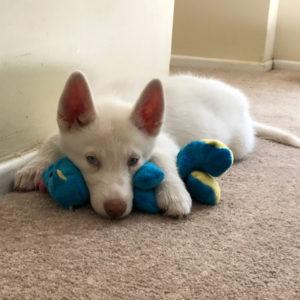 Halo (puppy)
