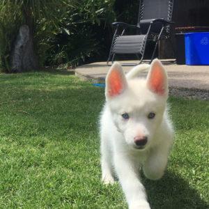 Rose (puppy)